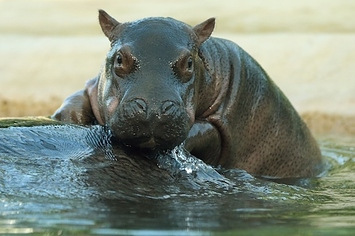 New Baby Hippo Poses For Adorable Photos