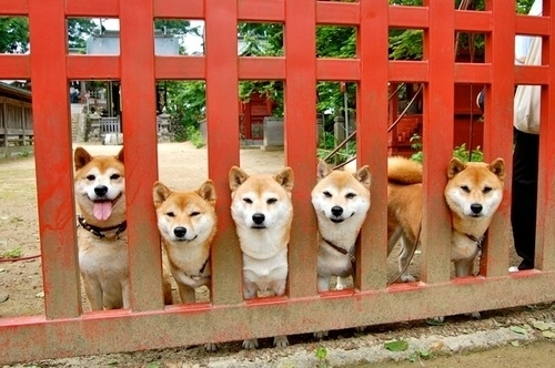 "The Hottest New Dog Trend Is ""Shiblings,"" Shiba Siblings"