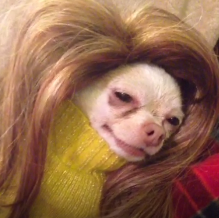 This Chihuahua Is Beyonce On A Bad Day