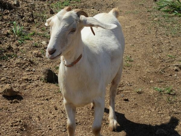 Duct Tape Used To Steal 23 Goats From A Hawaii Farm