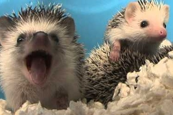 A Baby Hedgehog Has A Yawn