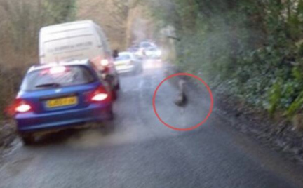 There's An Ostrich On The Run In Tunbridge Wells
