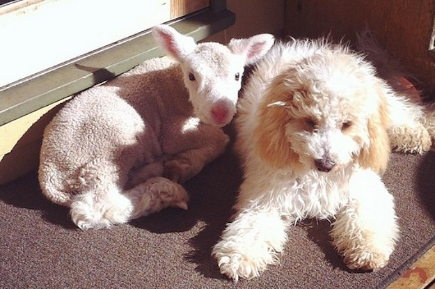 This Baby Lamb And Maltese Poodle Are Best Friends