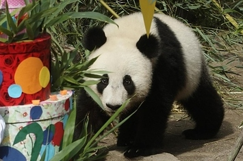 Community Post: Get Ready To Straight Up Lose It Over These Panda Birthday Photos