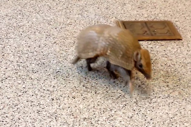 Rollie The Adorable Armadillo Is About To Be Your New Obsession