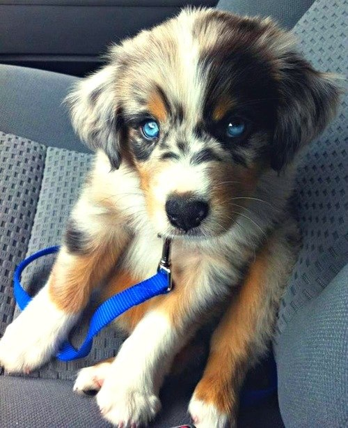 Golden/Husky Mix, I dare you to show me a cuter puppy.