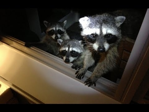 Community Post: Raccoon Gangsters