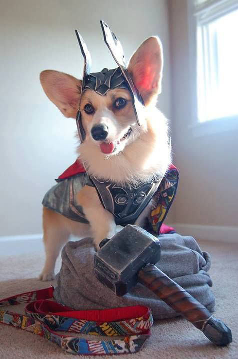 Community Post: 14 Corgis That Don't Care It Isn't Comic-Con