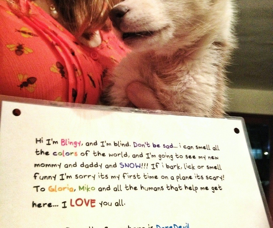 Finally someone adopted this blind husky puppy... And this is how we send her to America