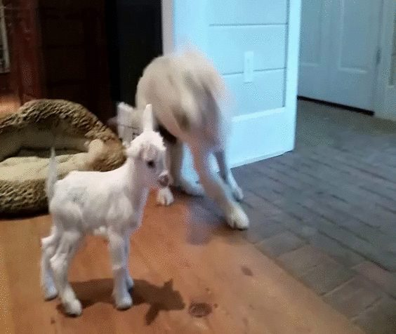 Dog goes bonkers over kid.