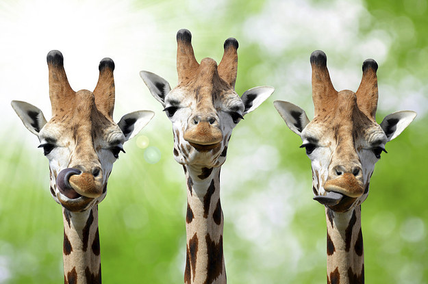 22 Facts That Will Change The Way You Look At Giraffes