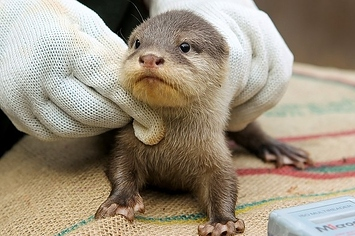Community Post: Baby Otters Born At Perth Zoo