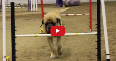 Huge Mastiff Competes in Dog Agility Competition