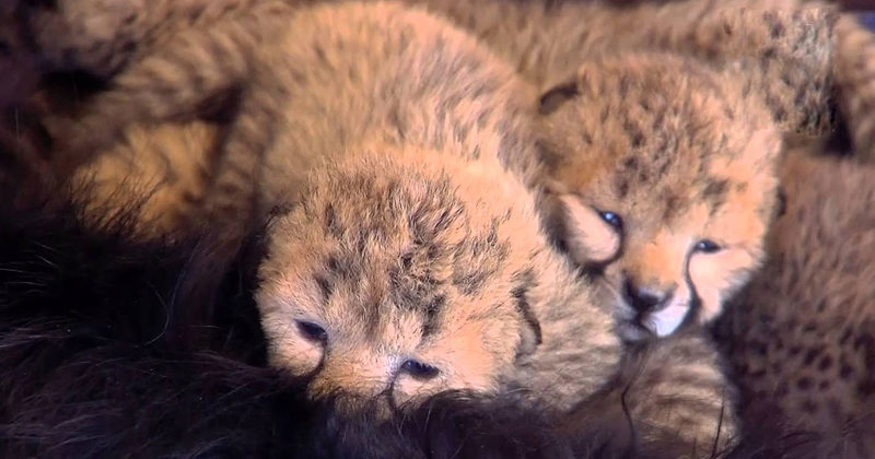 Orphaned Cheetah Babies Snuggle Up To Their New Foster Dad...A Dog!