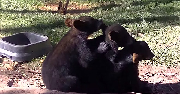 Bear Cubs Line Up And Groom Each Other In The World's Most Adorable Wildlife Video.