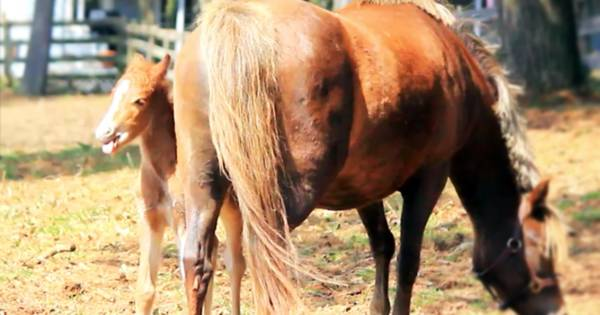 An Extremely Young Pony Refuses to Leave His Mother's Side...It's the Cutest.