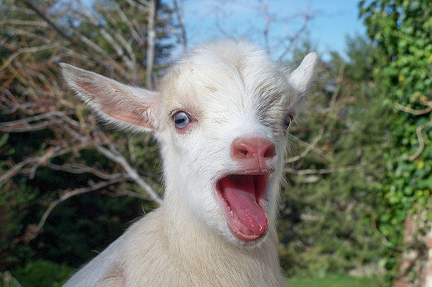 7 Baby Goats That Want You To Know They Are Present