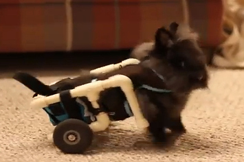 Community Post: Lily The Lionhead Bunny Has A Handi-HOP