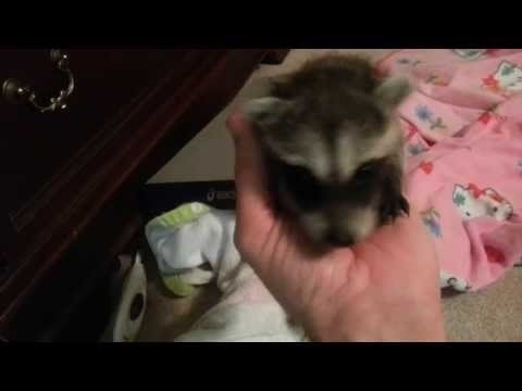 Community Post: Baby Racoon Missed Breakfast