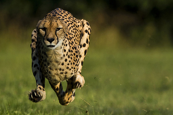 Cheetah Sets A New World Speed Record