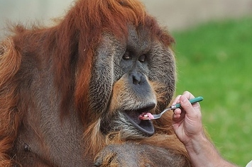 How To Celebrate An Orangutan's 50th Birthday
