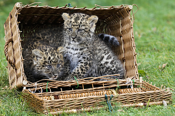 Five Perfectly Fuzzy Photos Of These New Leopard Cubs