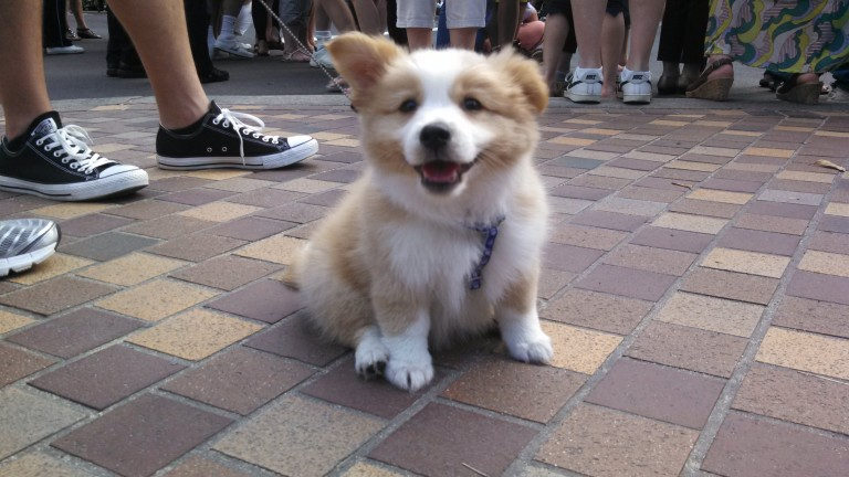 When walking in town, I came across the most facesplodingly adorable corgi puppy.