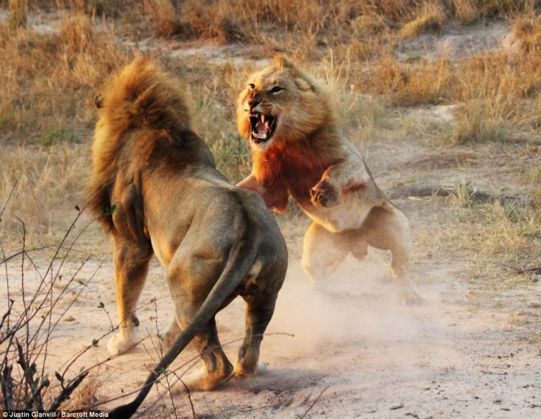 When A Young Lion Was Attacked, Two Lionesses Stepped In... The Photos Are Breathtaking.